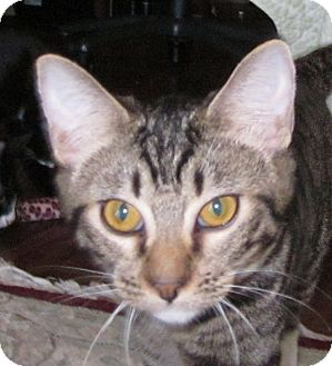 Domestic Shorthair Cat for Sale in Winchester, California - Winston