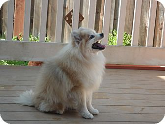 Pomeranian Mix Dog for adption in Santa Rosa, California - Bubbles