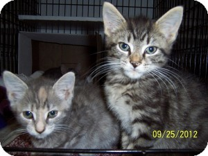 Domestic Shorthair Kitten for Sale in Oceanside, New York - Gizmo