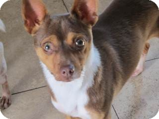 Basenji/Chihuahua Mix Dog for Sale in San Diego, California - Chevron