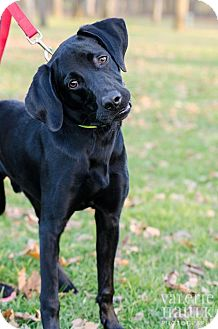 Labrador Retriever Mix Dog for Sale in Lancaster, Ohio - Shadow