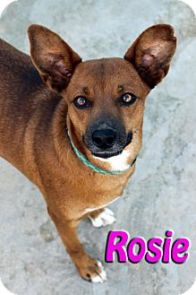 Shepherd (Unknown Type) Mix Dog for adption in Midland, Texas - Rosie