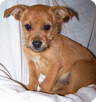 Cairn Terrier/Chihuahua Mix Puppy for Sale in Niagra Falls, New York - Kat $50 Off Adoption Fee