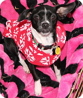 Boston Terrier/Dachshund Mix Puppy for adption in Gilbert, Arizona - Cash