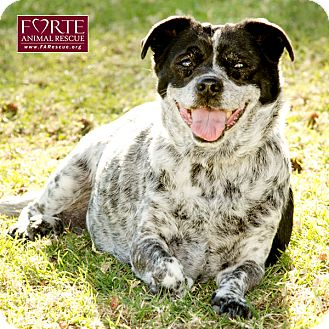 Australian Cattle Dog/Pug Mix Dog for adption in Marina del Rey, California - Pepper