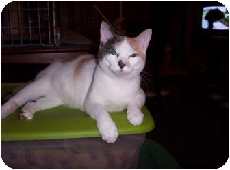 Calico Cat for adoption in Cocoa, Florida - Miss Kitt