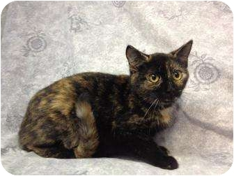 Calico Cat for adoption in Orlando, Florida - Ariel