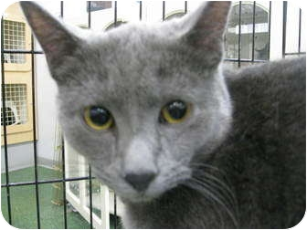 Russian Blue Cat for Sale in Mesa, Arizona - Blu