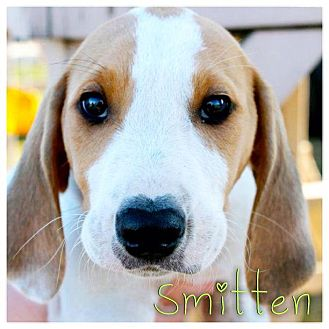 Coonhound Mix Puppy for Sale in Westland, Michigan - Smitten