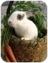 Adopt A Pet :: Midwest Rabbit Rescue & Re-home - Plymouth, MI