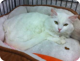 Domestic Shorthair Cat for Sale in Merrifield, Virginia - Abby