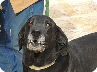 Labrador Retriever/Hound (Unknown Type) Mix Dog for adption in Washington, D.C. - Elvis Reduced