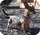 Dachshund Mix Dog for Sale in Jackson, Michigan - Lucy