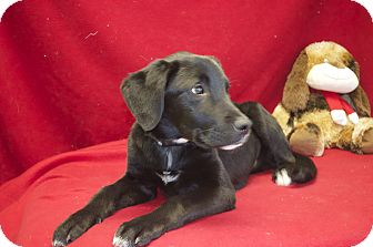Labrador Retriever Mix Dog for Sale in New cumberland, West Virginia - Quinn
