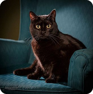 Domestic Shorthair Cat for adoption in St. Louis, Missouri - Gaea