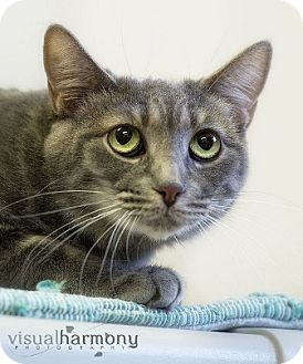 Domestic Shorthair Cat for adoption in Gilbert, Arizona - Mari