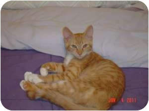 Oriental Cat for Sale in Medford, New Jersey - Mickey