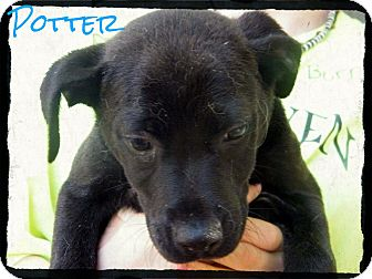 Labrador Retriever Mix Puppy for Sale in cumberland, Rhode Island - Potter