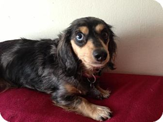 Dachshund Dog for Sale in Atascadero, California - Zelda