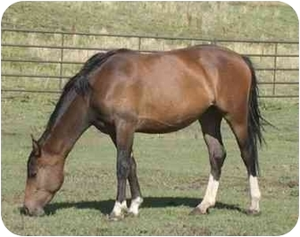 Quarterhorse Mix for Sale in Bayfield, Colorado - Jilly