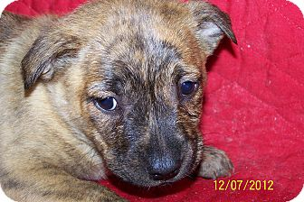 Boxer/German Shepherd Dog Mix Puppy for Sale in Sussex, New Jersey - Betsy $50.00 Off Fee