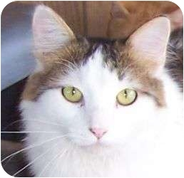 Turkish Van Cat for adoption in Andover, Kansas - Calvin