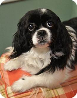 Cavalier King Charles Spaniel/Shih Tzu Mix Dog for Sale in Medford, Massachusetts - Sasha