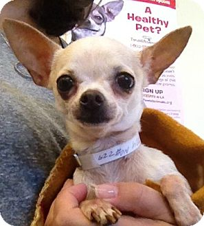 Chihuahua Dog for Sale in Studio City, California - Sugar (3.5 lbs.)