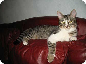 Domestic Shorthair Cat for Sale in Euless, Texas - Terrific Taffy