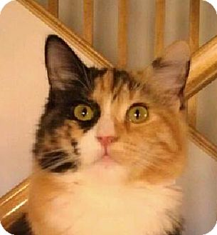 Calico Kitten for Sale in Winchester, California - Carol Ann