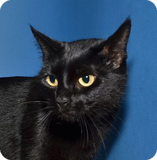 Domestic Shorthair Cat for adoption in Ranch Palos Verdes, California - Jen-Jen