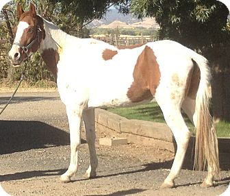 Paint/Pinto/Gaited Mix for Sale in Bangor, California - Sunny