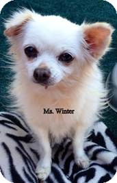 Chihuahua Mix Dog for Sale in San Diego, California - Ms Winter