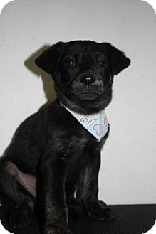 Plott Hound/Labrador Retriever Mix Puppy for Sale in Stilwell, Oklahoma - Lily