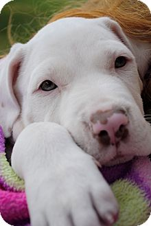 American Bulldog Mix Puppy for Sale in Orlando, Florida - Clark