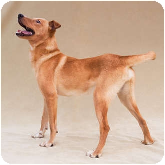 Shepherd (Unknown Type) Mix Dog for Sale in Greensboro, North Carolina - Joshua