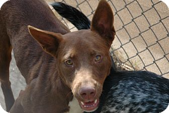 Australian Kelpie Mix Dog for adption in san antonio, Texas - Starr