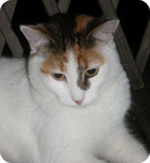 Calico Cat for Sale in N. Billerica, Massachusetts - Ella