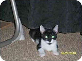 Domestic Shorthair Cat for Sale in Port Republic, Maryland - Tizzy