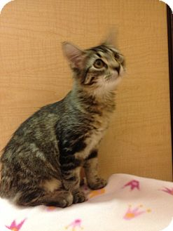 Domestic Shorthair Kitten for Sale in Modesto, California - Lucy