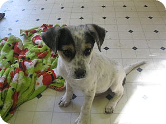 Cattle Dog Mix Puppy for Sale in Pelham, New York - Nadine