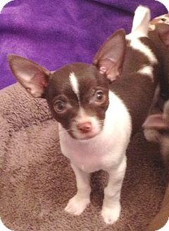 Chihuahua Puppy for Sale in Orlando, Florida - Chispy#1M