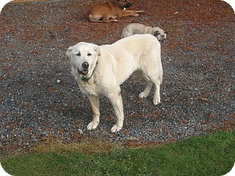 Labrador Retriever Mix Dog for Sale in Bellingham, Washington - Jacob