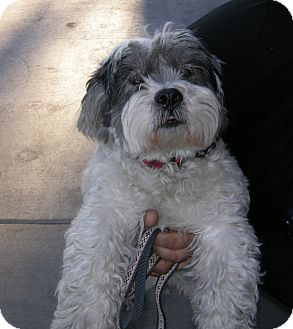Lhasa Apso Mix Dog for adption in Las Vegas, Nevada - Rusty