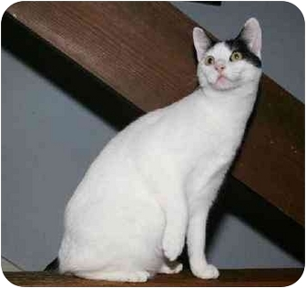 Turkish Van Kitten for adoption in Houston, Texas - Jingles