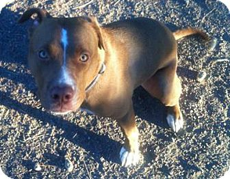 American Pit Bull Terrier/Chesapeake Bay Retriever Mix Dog for adption in Georgetown, Colorado - Buddy