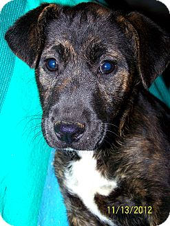 Boxer/Labrador Retriever Mix Puppy for Sale in Niagra Falls, New York - Sue $75.00 Off Adoption