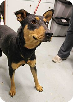 Doberman Pinscher/Shepherd (Unknown Type) Mix Dog for adption in Westminster, Colorado - Isabella
