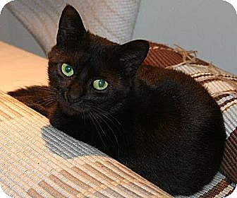 Bombay Cat for adoption in Fairfield, Connecticut - Luna
