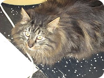 Maine Coon Cat for Sale in Jeffersonville, Indiana - Tiger